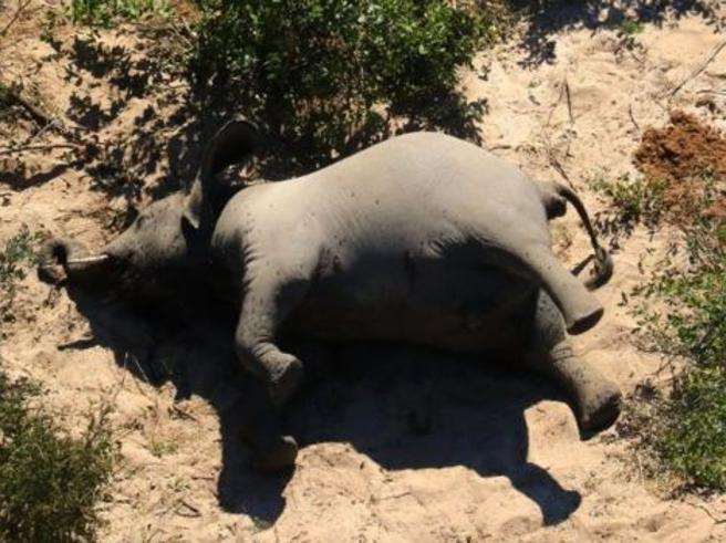 Oltre 350 elefanti morti in un mese: «Inspiegabile, forse una malattia»