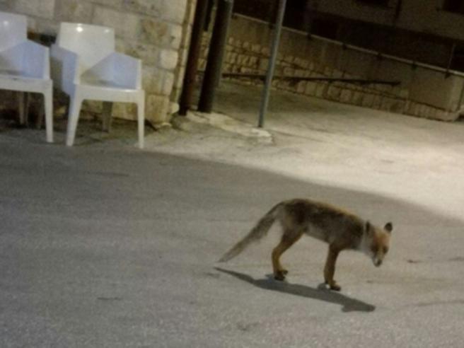 Paese «adotta» una volpe che ogni sera arriva in piazza in cerca di cibo