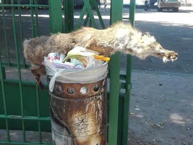 Catania, una volpe morta buttata in un cestino dei rifiuti: «Atto di inciviltà»