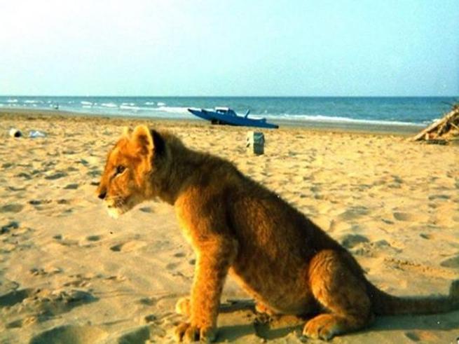 Cosa ci fa un leone sulla spiaggia di Rimini?