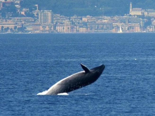 Gli spettacolari salti della balenottera di fronte a Genova: «Tutti estasiati»