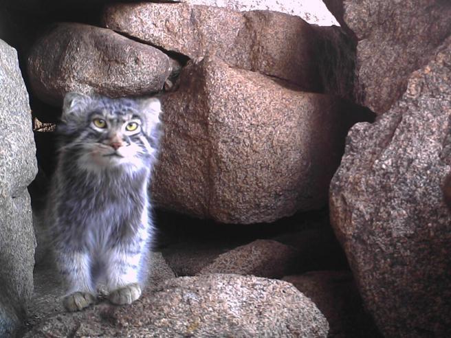 Gatto di Pallas, c'è un  team di ricercatori italiani che lo salva  in Mongolia