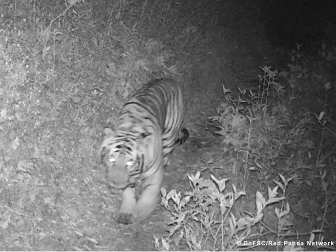 Avvistata tigre a 3.165 metri in Nepal. Perché deve cercare nuovi spazi