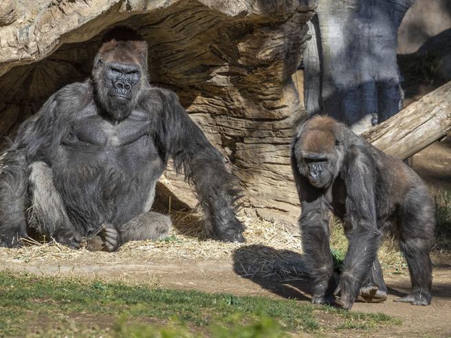 Gorilla positivi allo zoo di San Diego: «Hanno alcuni sintomi ma stanno bene»