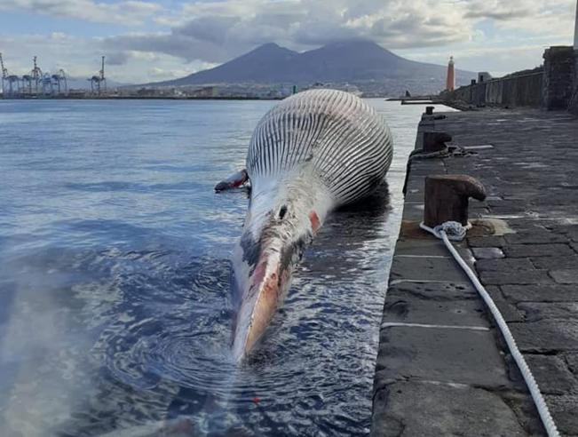 La balenottera morta a Sorrento: «àˆ  la  più grande del Mediterraneo. Lo scheletro sarà posto in un museo»