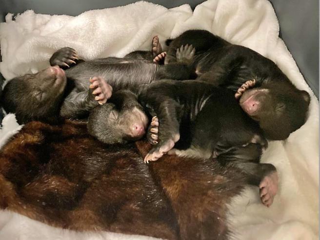 Usa, ha un problema con il gas: scova una famiglia di orsi nel seminterrato