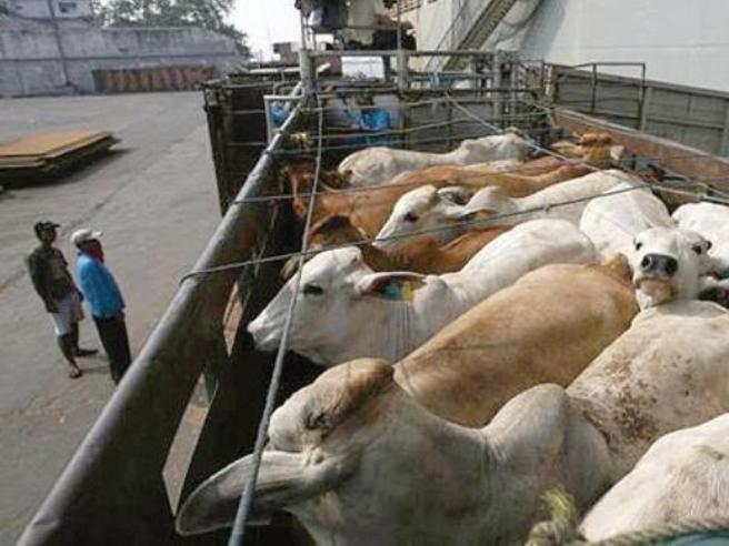 L'odissea delle 2.600 mucche «perse» nel Mediterraneo da dicembre