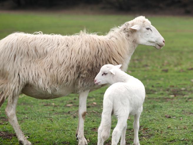La storia a lieto fine di Chris e Malindi, gli agnellini nati dalle pecore salvate dall'Isola di Gorgona