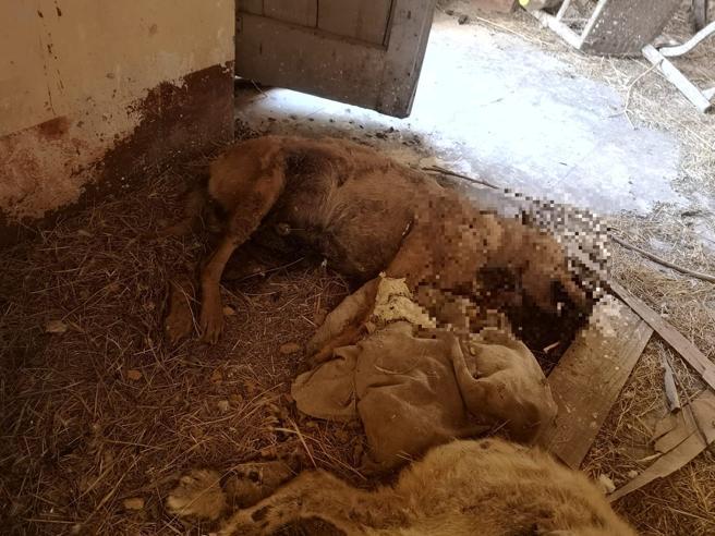 Sicilia, due cani seviziati e uccisi: trovati i resti in un casolare