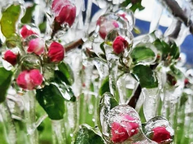 Maltempo, le mele della Valtellina «ibernate» per salvarle dal gelo