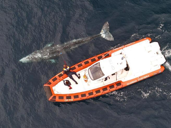 Risolto l'enigma della balena grigia: è una giovane arrivata dall'Alaska
