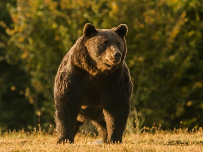 L'orso gigante Arthur ucciso dal principe del Liechtenstein