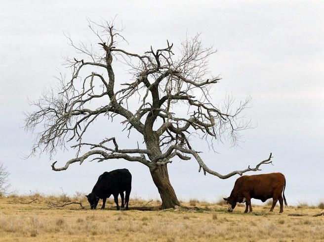 Usa, il clima «taglia» gli allevamenti intensivi: quando la natura agisce prima dell'uomo
