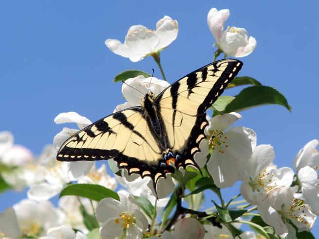 «Salviamo le farfalle»: dal Regno Unito all'Italia, i cittadini chiamati a tutelarle contribuendo al censimento