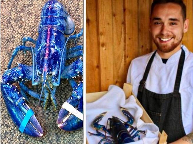 Inghilterra, lo chef «salva» l'astice blu: «Troppo bello per essere mangiato»