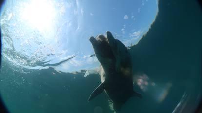 Trieste, le foto del delfino morto nel golfo