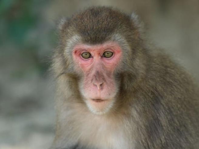 Per la prima volta in 70 anni c'è una femmina alfa a capo dei macachi dell'isola giapponese di Kyushu