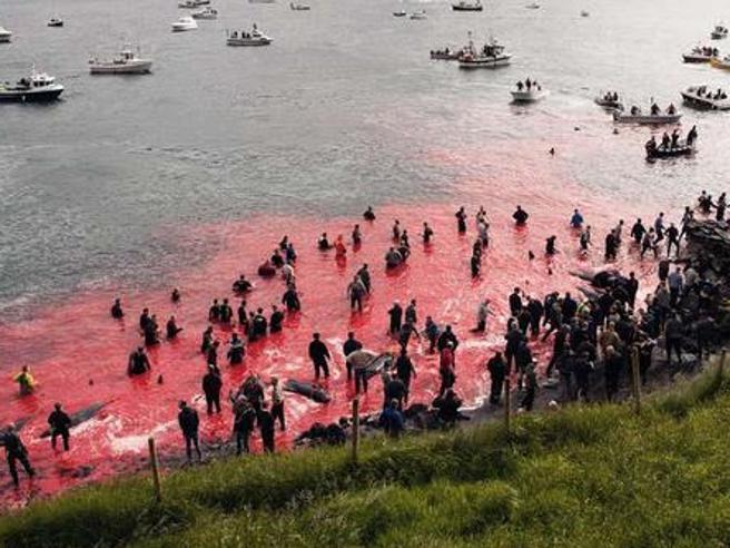 Faroe, delfini massacrati: la mattanza della caccia Grindadrap