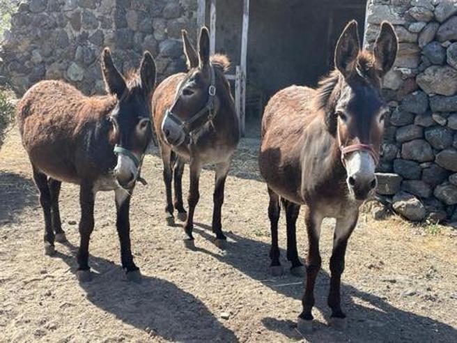 L'asino pantesco torna a Pantelleria: «Così si salva la specie»