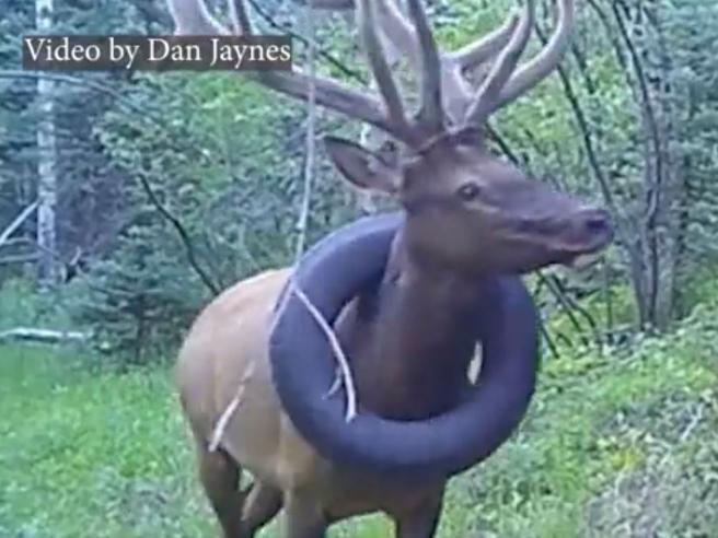 Cervo viveva con uno pneumatico incastrato intorno al collo: liberato dopo due anni