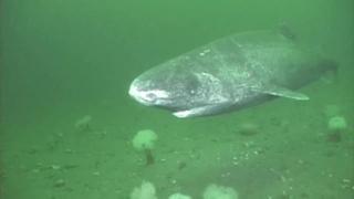 datazione squalo