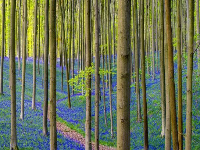 La fioritura della foresta incantata in Belgio