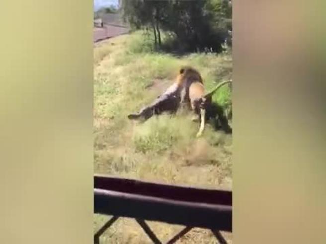 Uomo aggredito da leone in SudAfrica: trascinato per metri tra le urla dei presenti, si salva miracolosamente