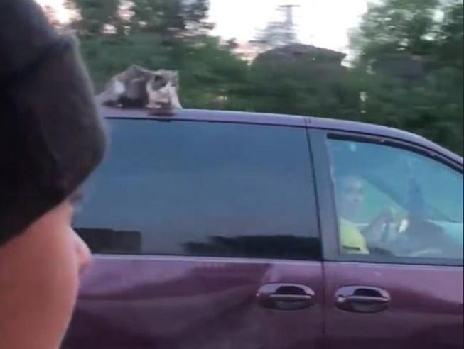 Gatto terrorizzato sul tetto dell'auto che viaggia a 100 km all'ora