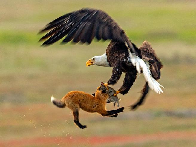 La volpe cattura la lepre, ma le piomba addosso un'aquila. Chi vince?