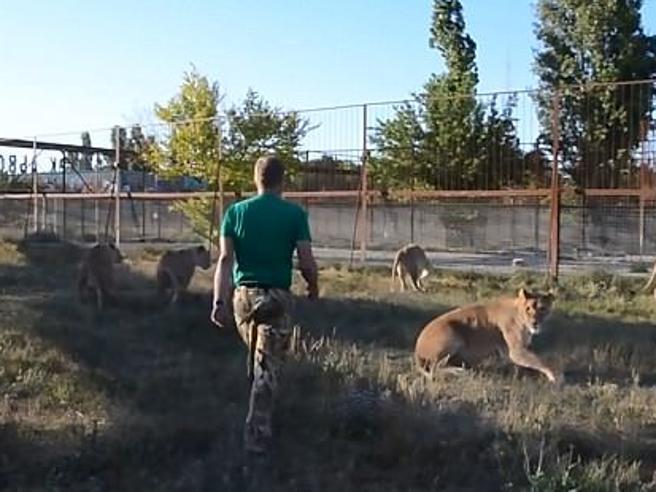 I leoni litigano e il direttore dello zoo li caccia con una ciabatta in mano