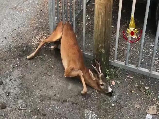Capriolo rimane incastrato nella recinzione: il salvataggio dei vigili del fuoco