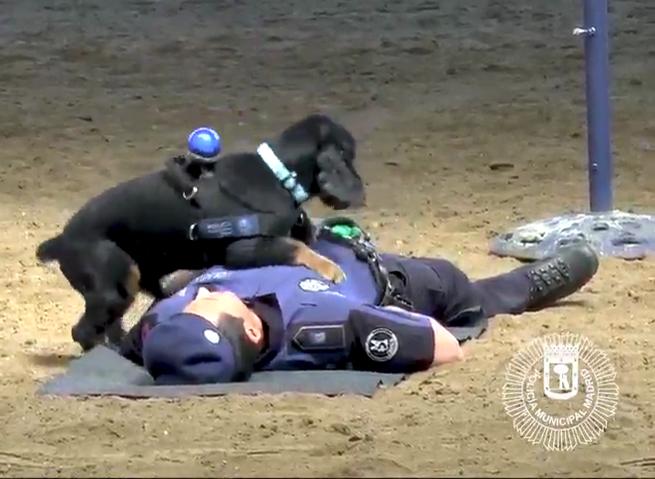 Pratica la rianimazione cardio polmonare: cane poliziotto è una star in Rete