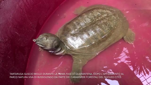 Tartaruga Dal Guscio Molle.Guscio Molle E Naso A Proboscide Trovata Nel Lago Di Garda Una Tartaruga Aliena