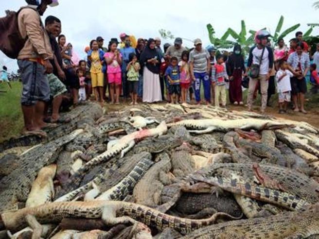 Coccodrilli, la strage in Papua occidentale: uomo «vendicato» nella riserva. 292 animali uccisi