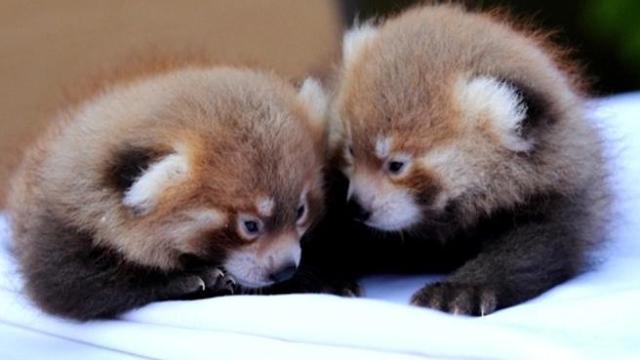 New York, emozione allo zoo di Syracuse nati due cuccioli di panda rosso ,  Corriere TV