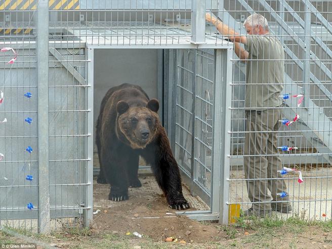 Rinchiuso in una gabbia per 17 anni, l'orso assapora per la prima volta la libertà