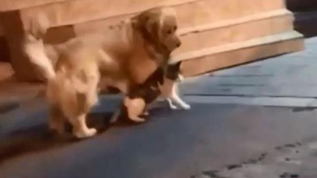 Quando Il Cane è Il Miglior Amico Del Gatto Retriever Trascina Felino Via