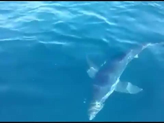 Avvistato squalo di tre metri a Jesolo e i pescatori lo accarezzano
