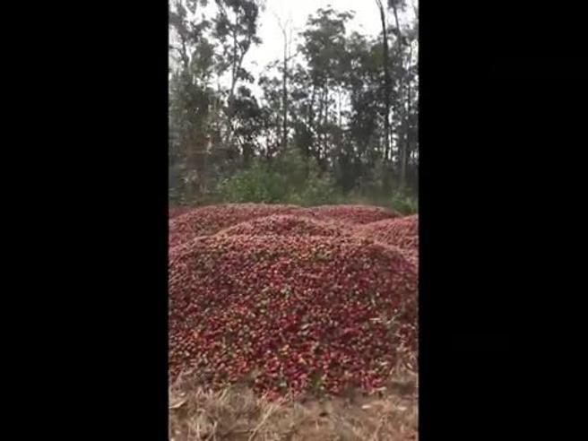 Aghi nelle fragole in Australia, la disperazione dei produttori davanti alla montagna di frutta invenduta
