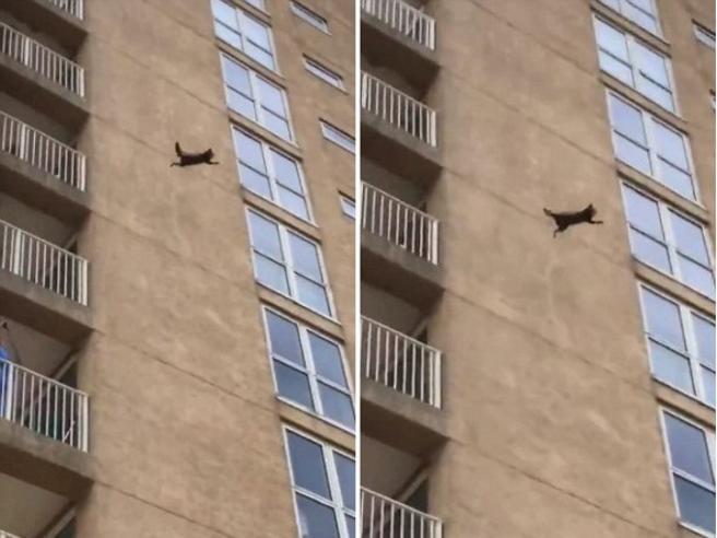 Il procione scala il palazzo di nove piani