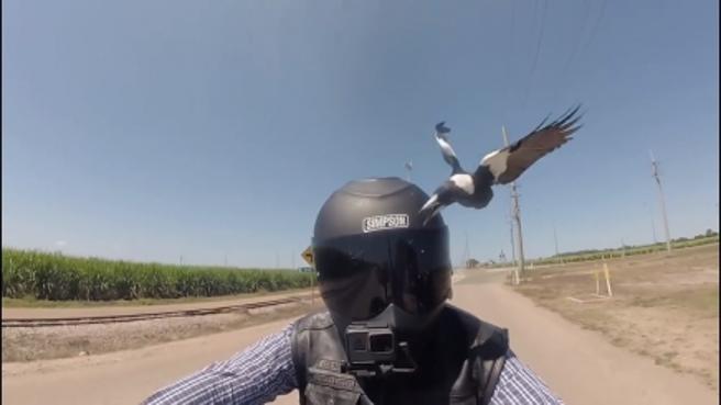 Inseguito dagli uccelli e beccato sul casco, la fuga impossibile del motociclista