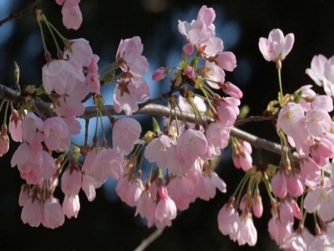 In Giappone fioriscono i ciliegi, con 6 mesi d?anticipo