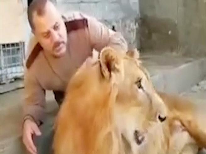 Il domatore coccola il leone: la reazione dell'animale lo sorprende