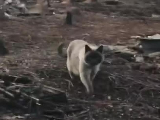 California, un mese dopo gli incendi trovano il loro gatto ancora vivo
