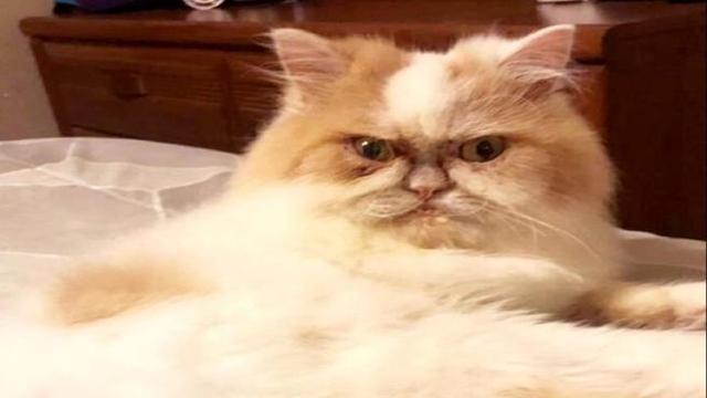 Ecco Il Nuovo Grumpy Cat Louis Il Gatto Sempre Imbronciato