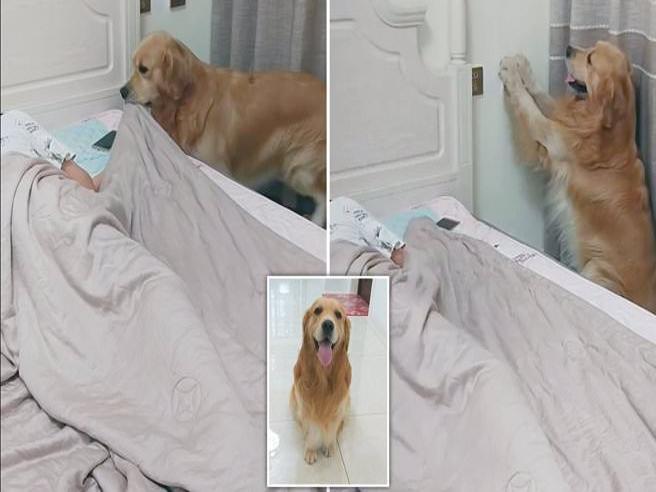 Il dolcissimo cagnolone che rimbocca le coperte alla padrona a letto
