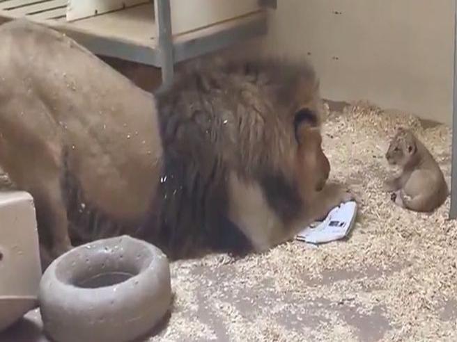 Il papà leone si avvicina al suo cucciolo per la prima volta: il video è dolcissimo