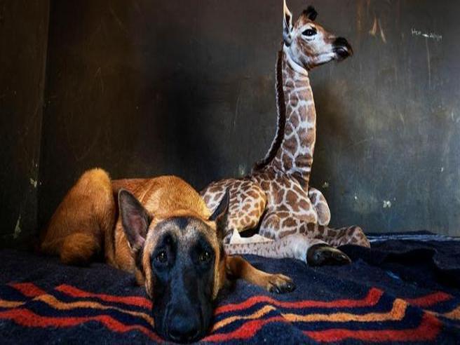 La coppia che non t'aspetti: il cane e la baby giraffa sono i migliori amici