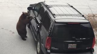 L'orso apre la portiera dell'auto e si mette al volante