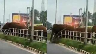 L'elefante rompe la barriera stradale per far attraversare la mandria